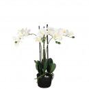 Phalaenopsis plant